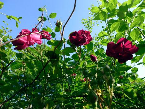 roses05_15