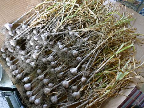 garlic07_30
