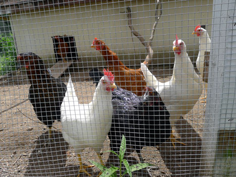 retreatChickens08_08