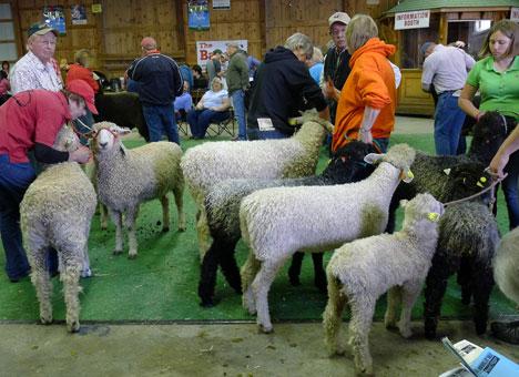 sheepShow08_21