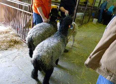 sheepShowA08_21