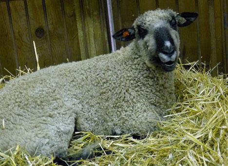 sheepShowG08_21