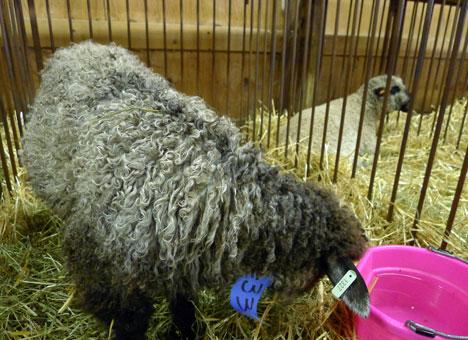 sheepShowJ08_21