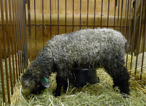 sheepShowL08_21
