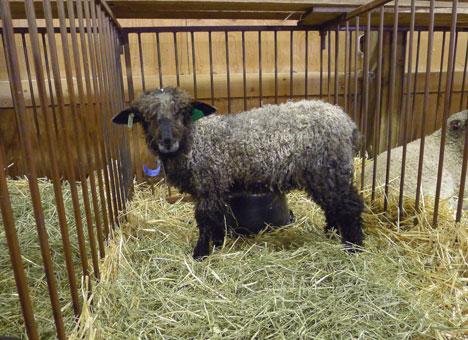 sheepShowM08_21