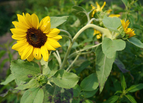 sunflower5x4
