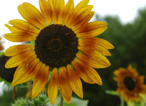 sunflowerE5x4