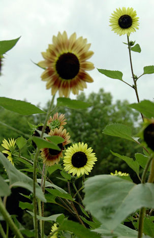 sunflowerK8x5