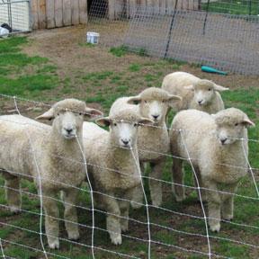 romney-lambs
