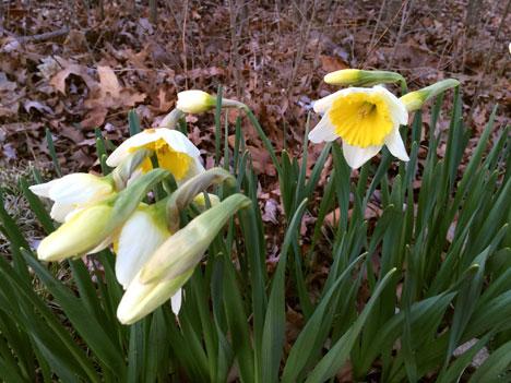 daffodils04_13