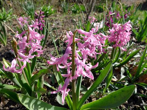 hyacinth04_18