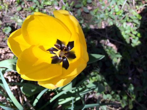 tulip04_27