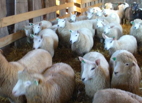 Lamb-Barn_300dpi