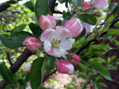 appleBlossom05_06