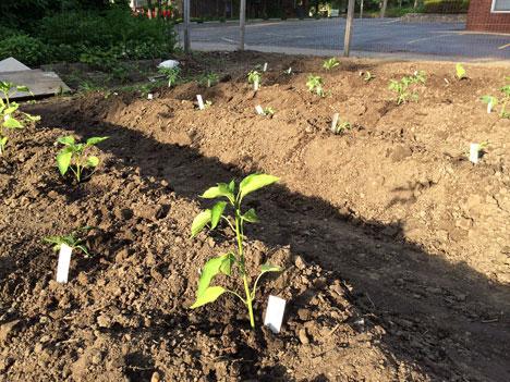 plantingNightshades05_27