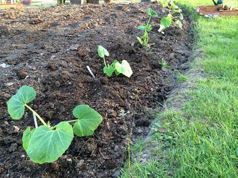 plantingSquash05_27
