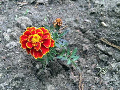 marigold06_15