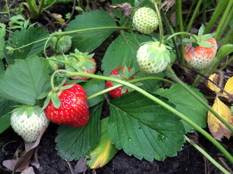 strawberries06_15