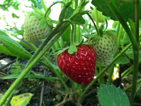 strawberry06_06