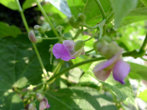 beanFlowersPurple07_31
