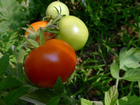 tomatoes07_31