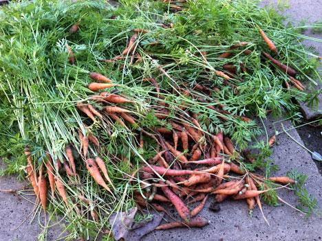 carrotsThinnings08_05