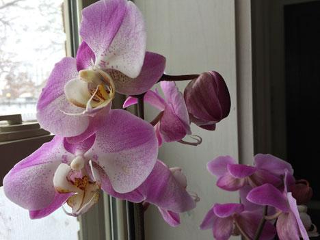 orchids01_27