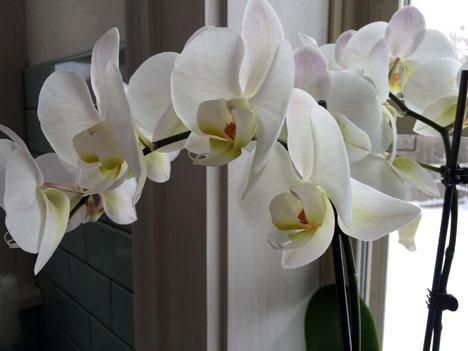 orchidsA01_27