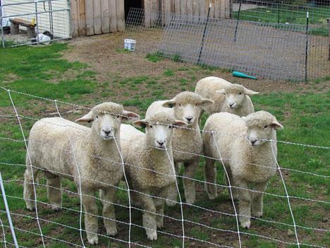 romney-lambs_5x4