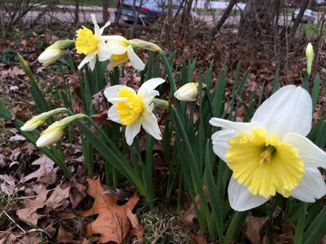 daffodilsHome04_12