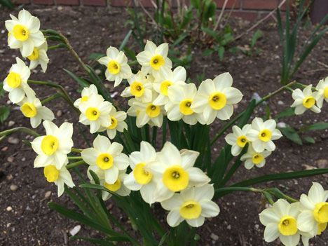 daffodils05_06