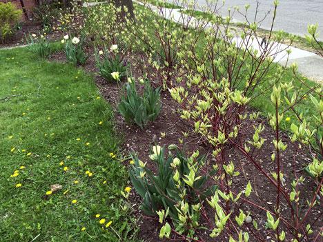 tulipsClosed05_06
