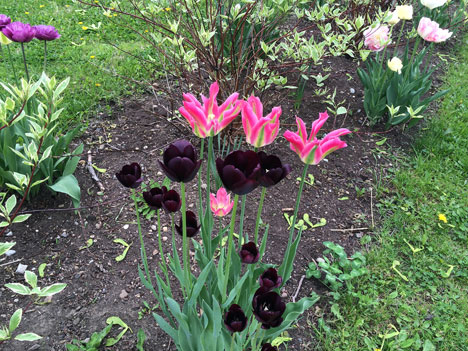 tulipsOpenA05_06