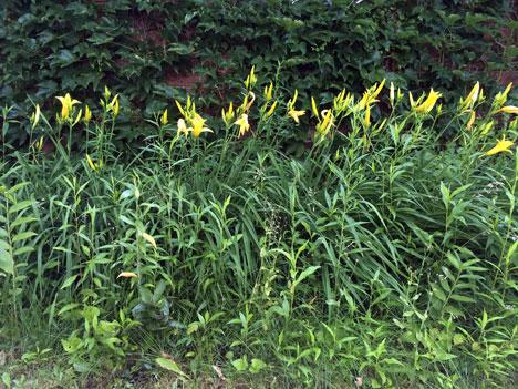 daylilies06_25
