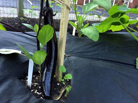 eggplant06_25