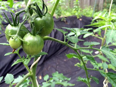 tomato06_19