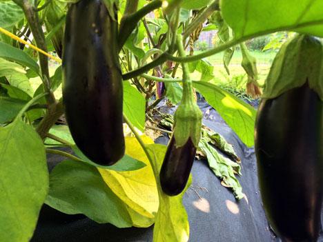 eggplant07_21