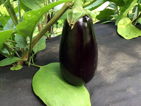 eggplant2Pick07_13