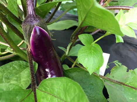 eggplantBabyA07_13