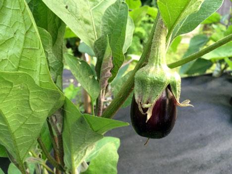 eggplantFruit07_07