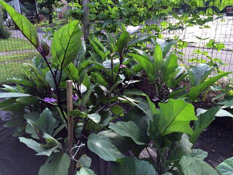 eggplantPlants07_13