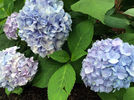 hydrangeaOurs7_10