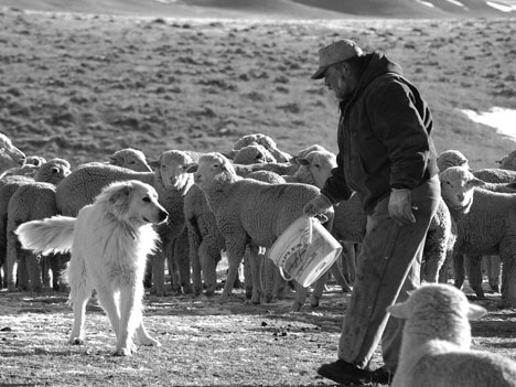 sheepHerdingMMW07_04
