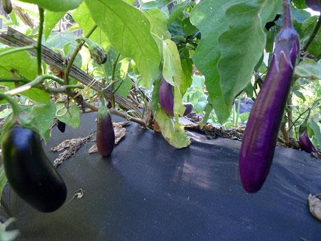 eggplantPatch09_18