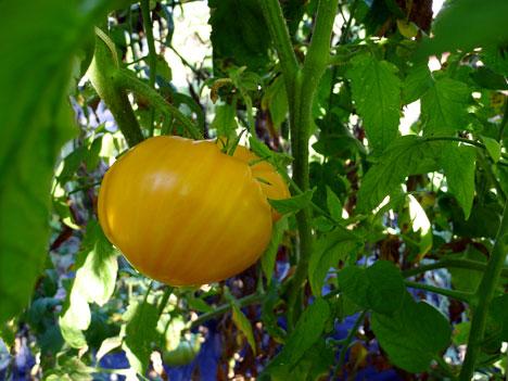 tomatoesOxheart09_18