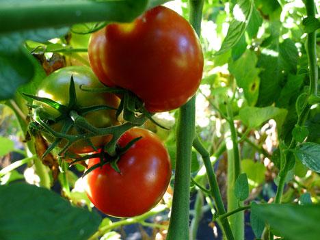 tomatoesVine09_18