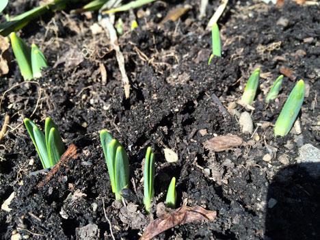 daffodils03_03