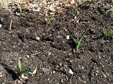 garlic03_03
