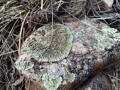 lichen02_28