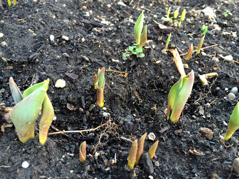 tulips03_03
